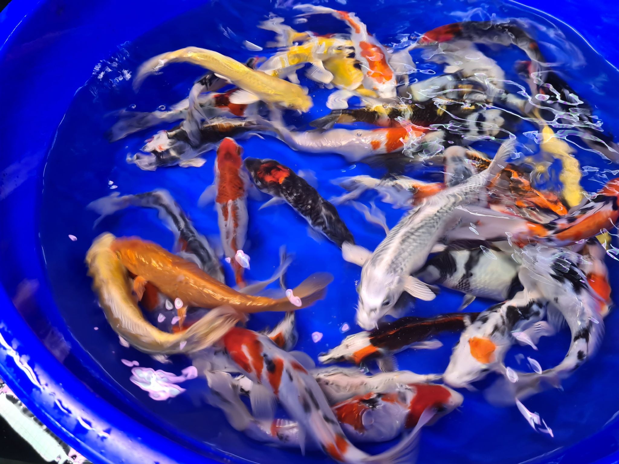 "6""-7"" Selected Koi Mix x 1"