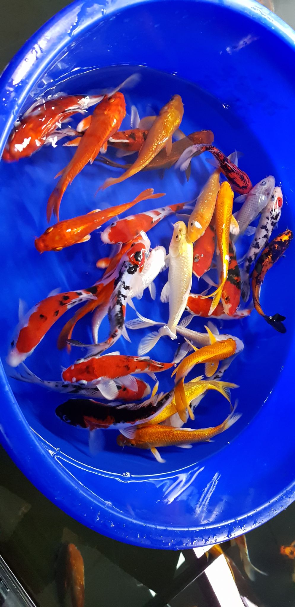 "6""-7"" Selected Koi Mix x 10"