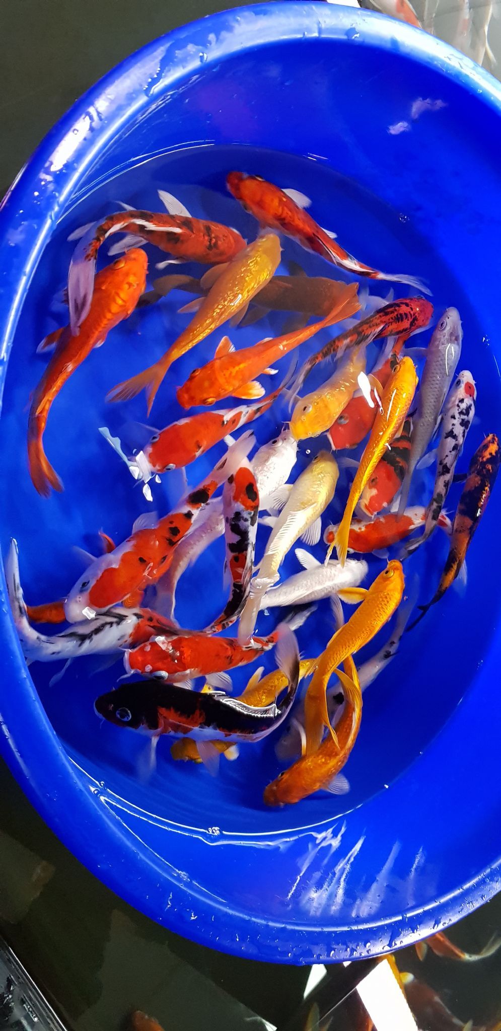 "6""-7"" Selected Koi Mix x 3"